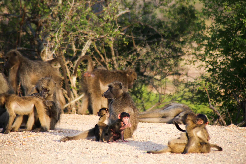 Kruger National Park image of a huge troupe of baboons