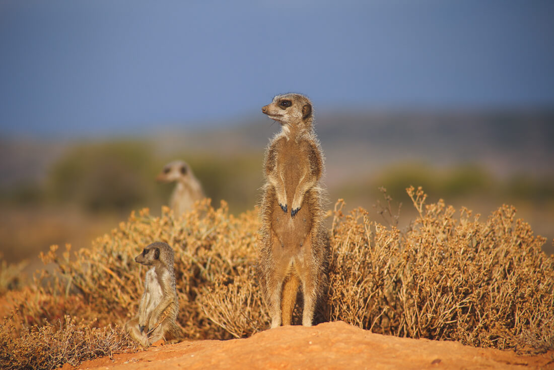 where to see Meerkats in South Africa