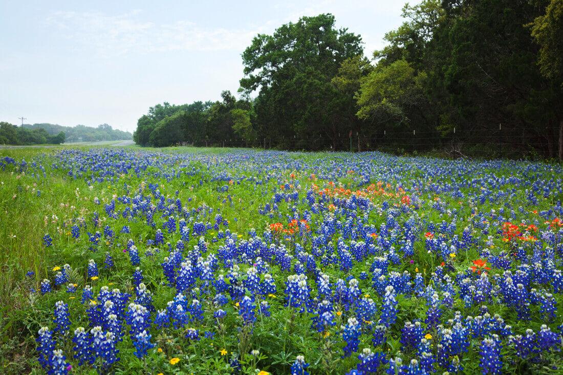 Texas Bluebonnets   Source: Daniel Thornberg © 123RF.com