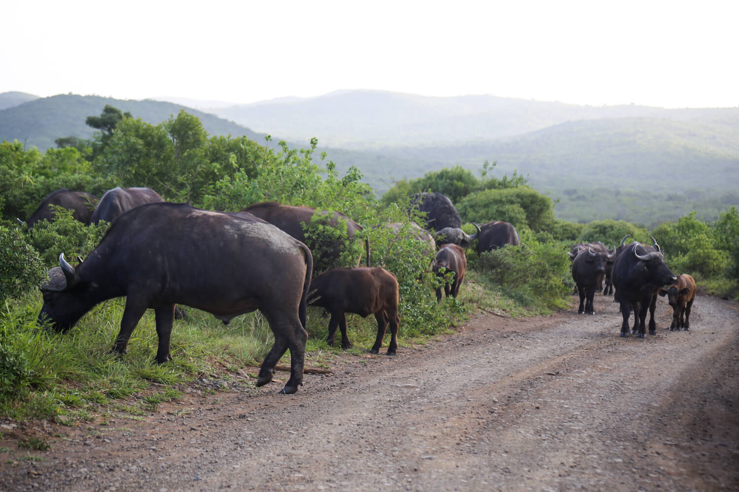 Hluhluwe Imfolozi and its large buffalo herd on the side of a dirt road in South Africa