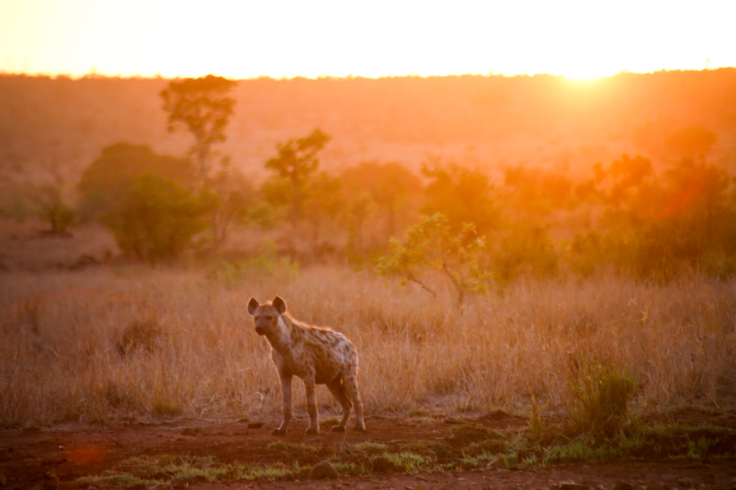 A hyena at sunrise in a 2 weeks in South Africa itinerary