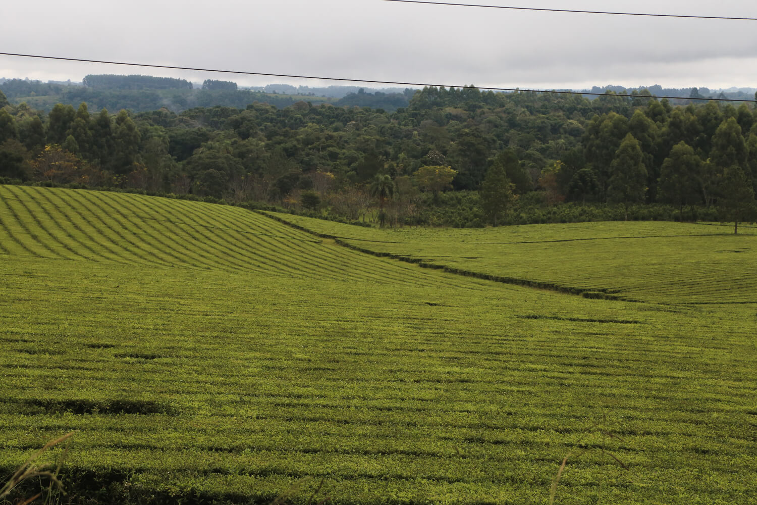 We were often driving by tea plantations like this one.