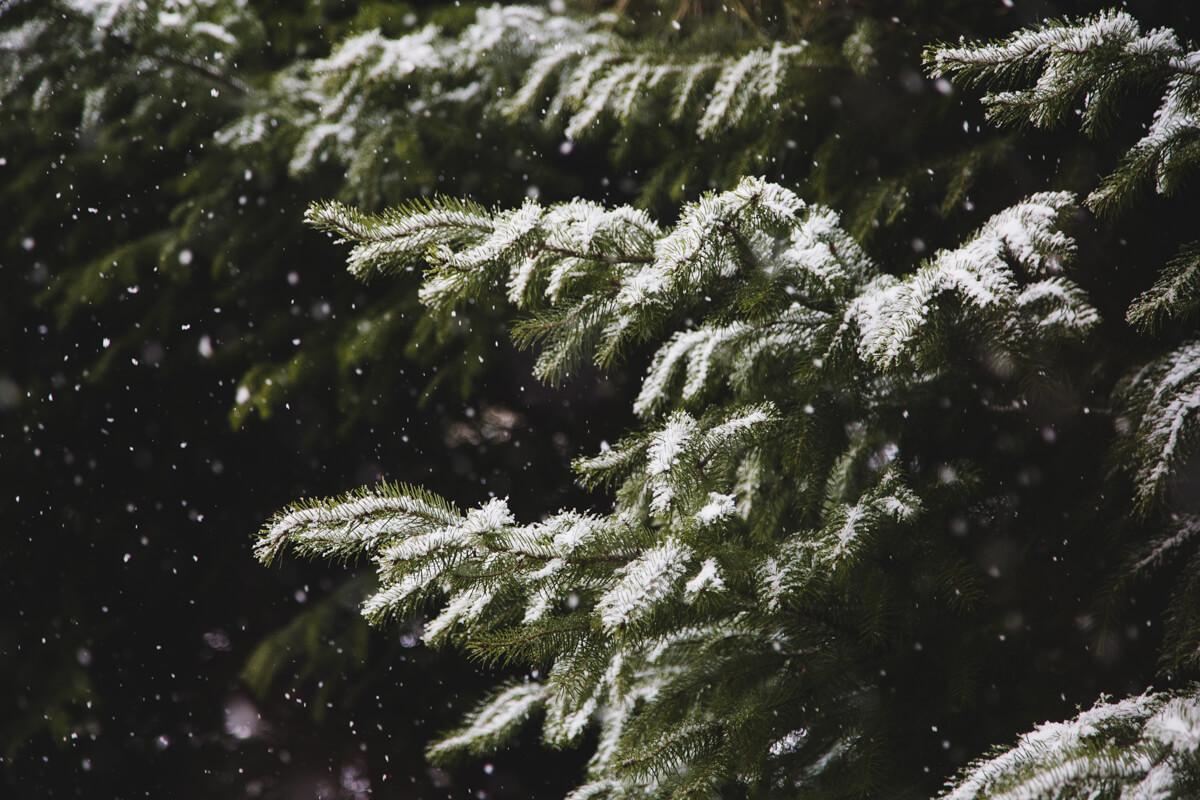 Snow falls on a deep green pine tree in Bariloche in winter