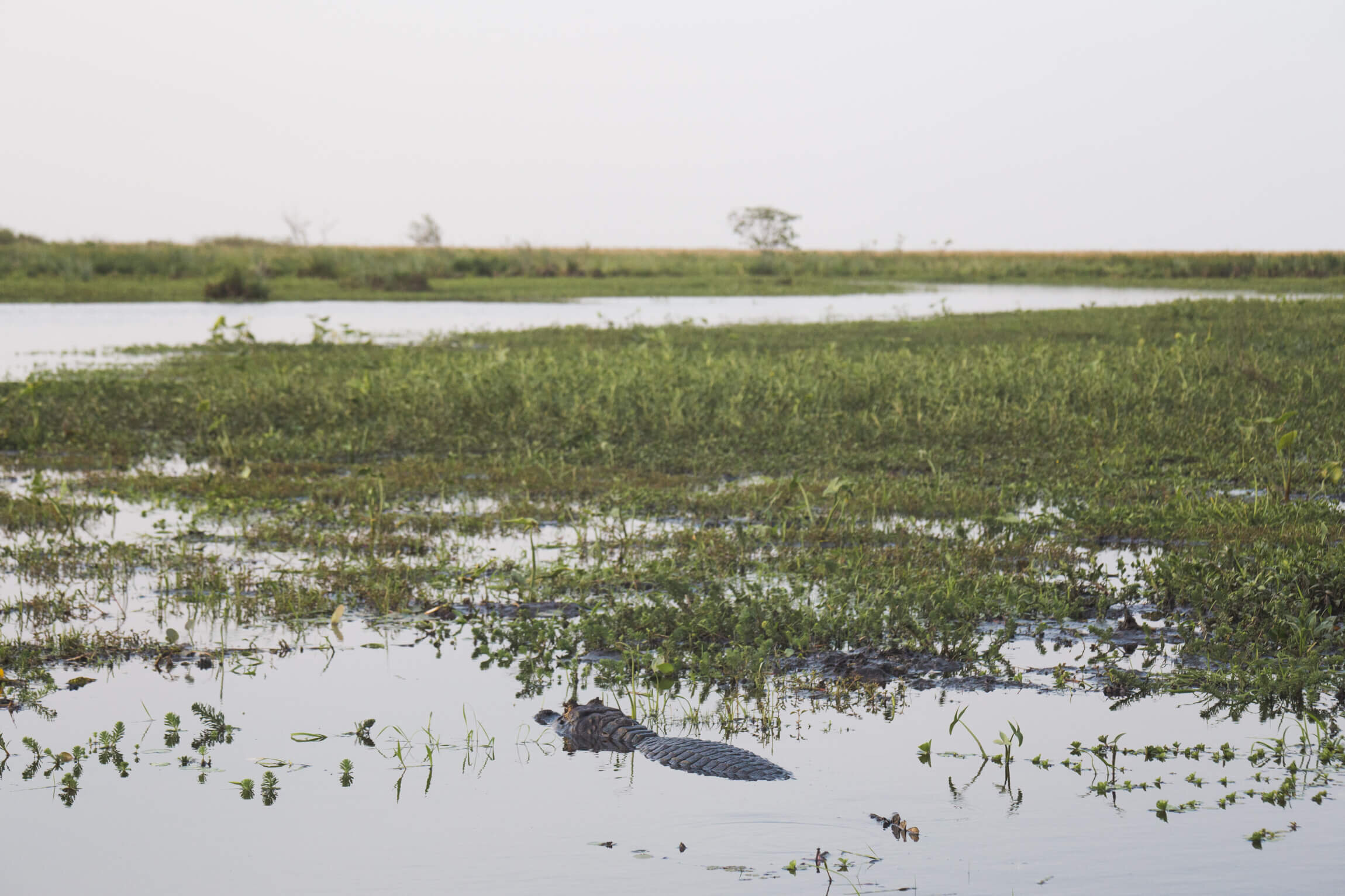 A small alligator is submerged in the water of the wetlands in Argentina