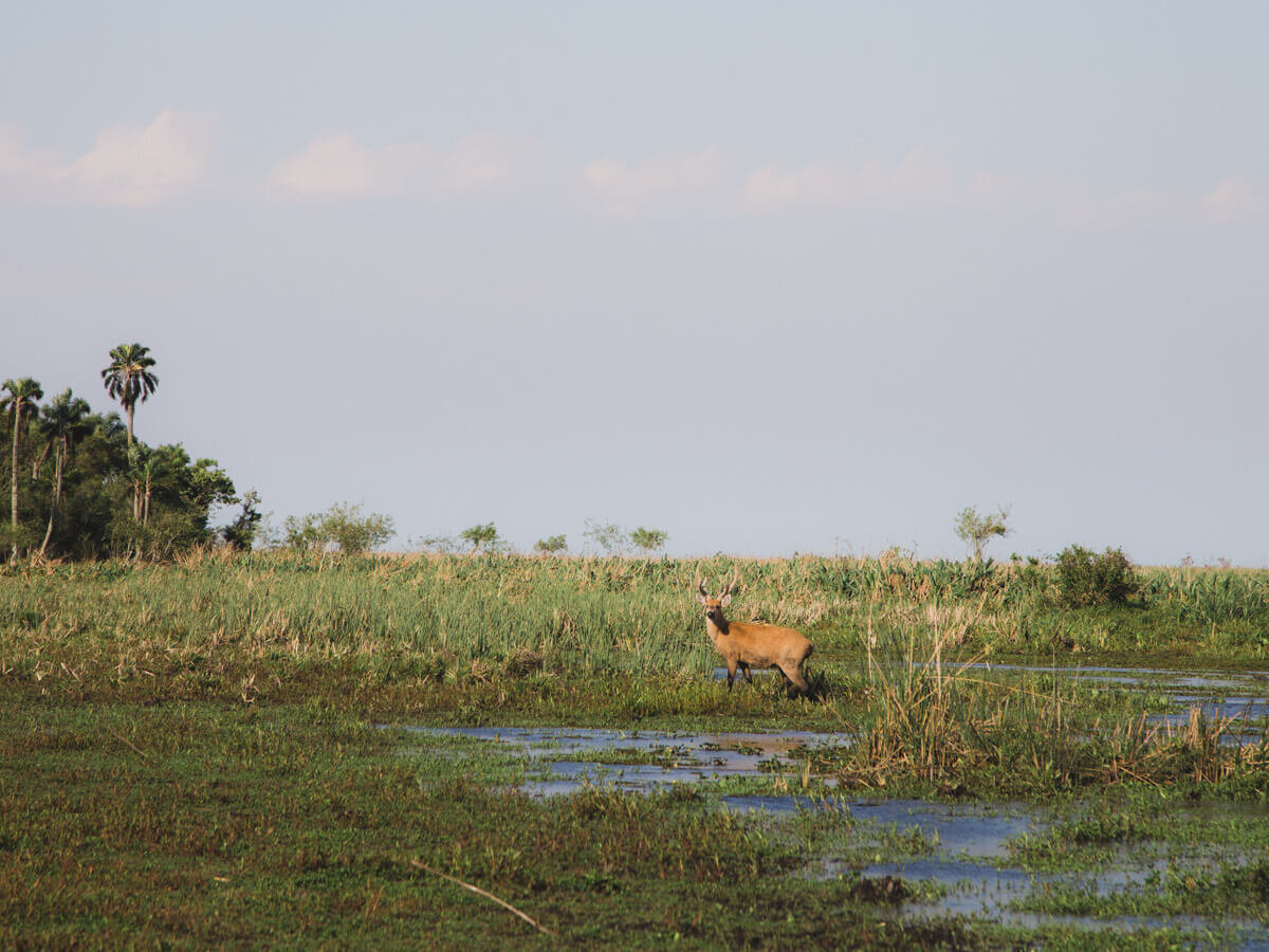 The marsh deer, pictured here, population has greatly recovered thanks to conservation efforts in Ibera.