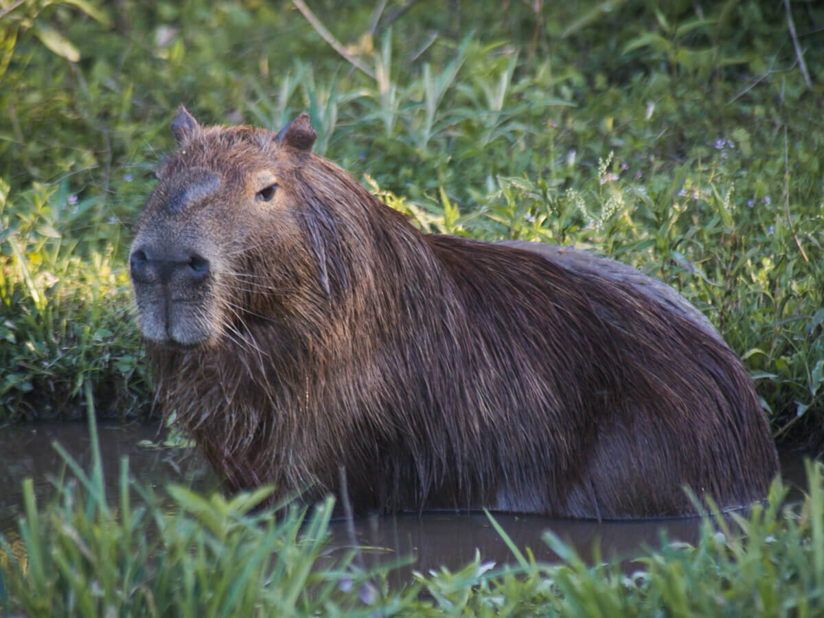A giant male capybara sits in a puddle of water in Argentina's wetlands