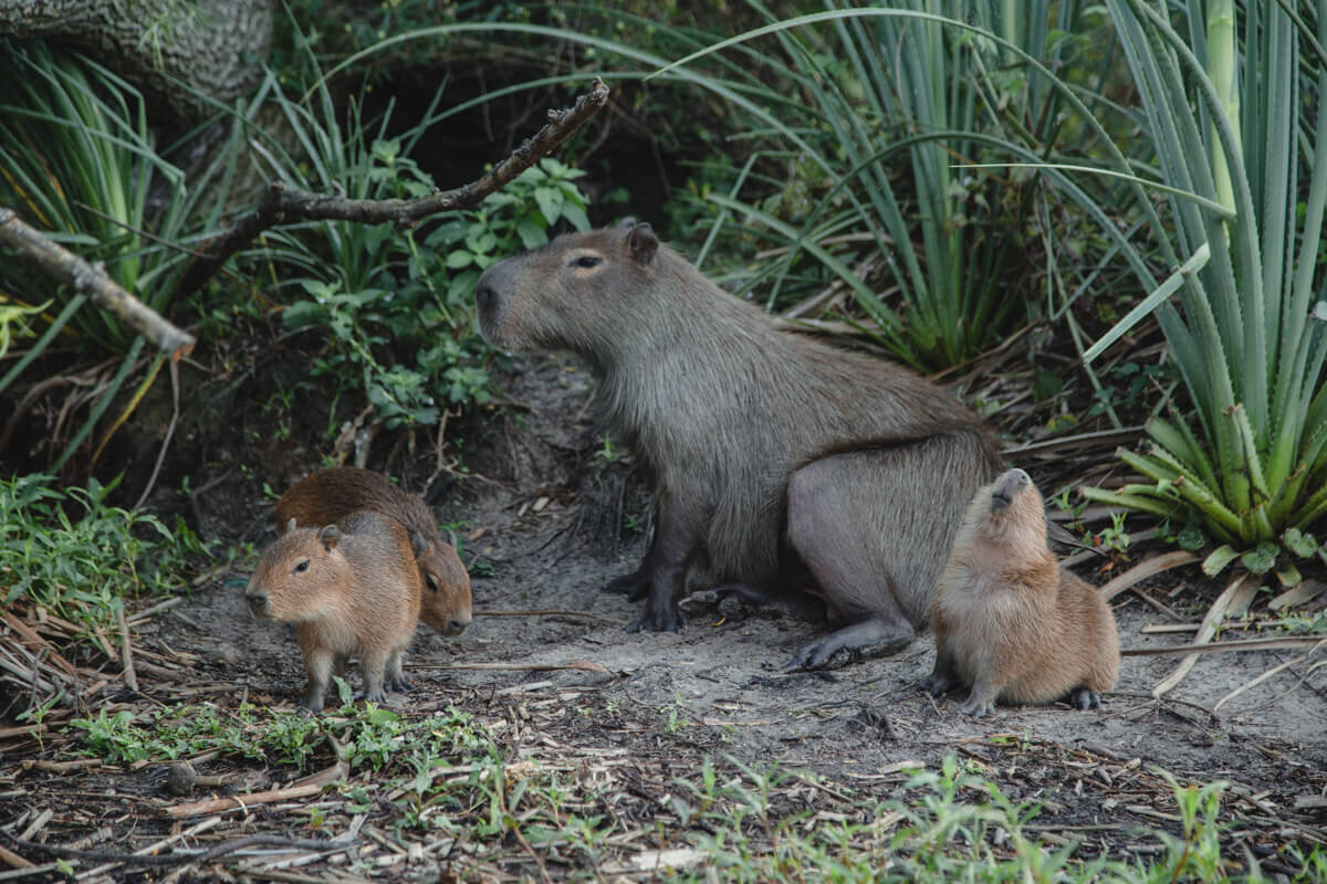 A mother and three baby capybaras sit on the shore of the marsh in Argentina