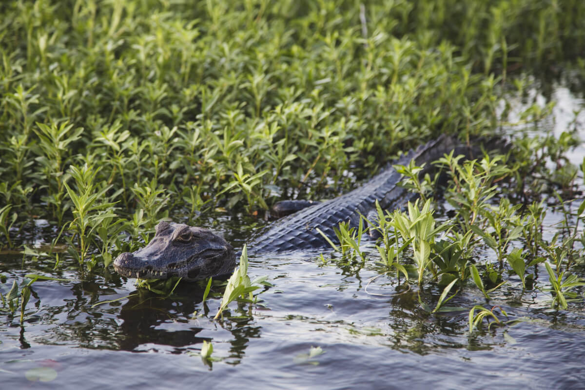 A caiman and other wild animals in Argentina swim in the marshy waters of the Iberá wetlands