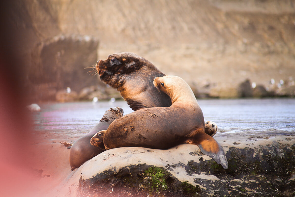 A large male sea lion is surrounded by females and baby sea lions on a rocky cliff near the water on an Argentina wildlife excursion in Patagonia