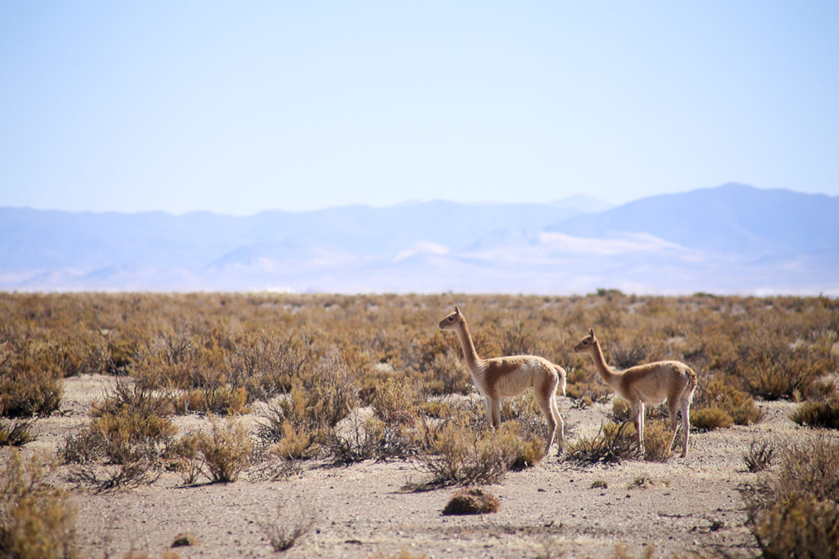 Two vicuña stand next to each other on the puna in northwest Argentina, an unexpected Argentina wildlife destination.