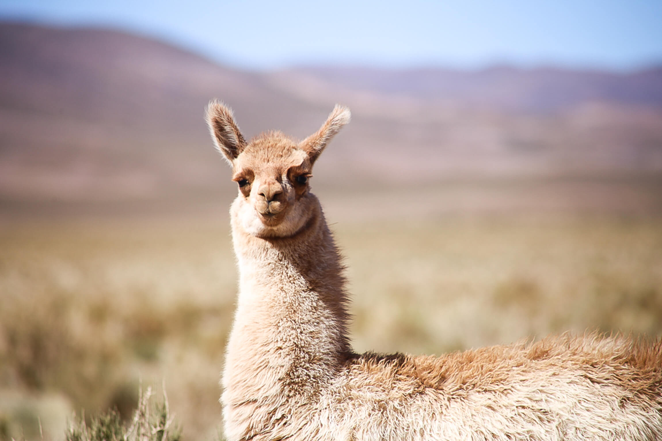 A furry beige llama stares directly into the camera in Argentina