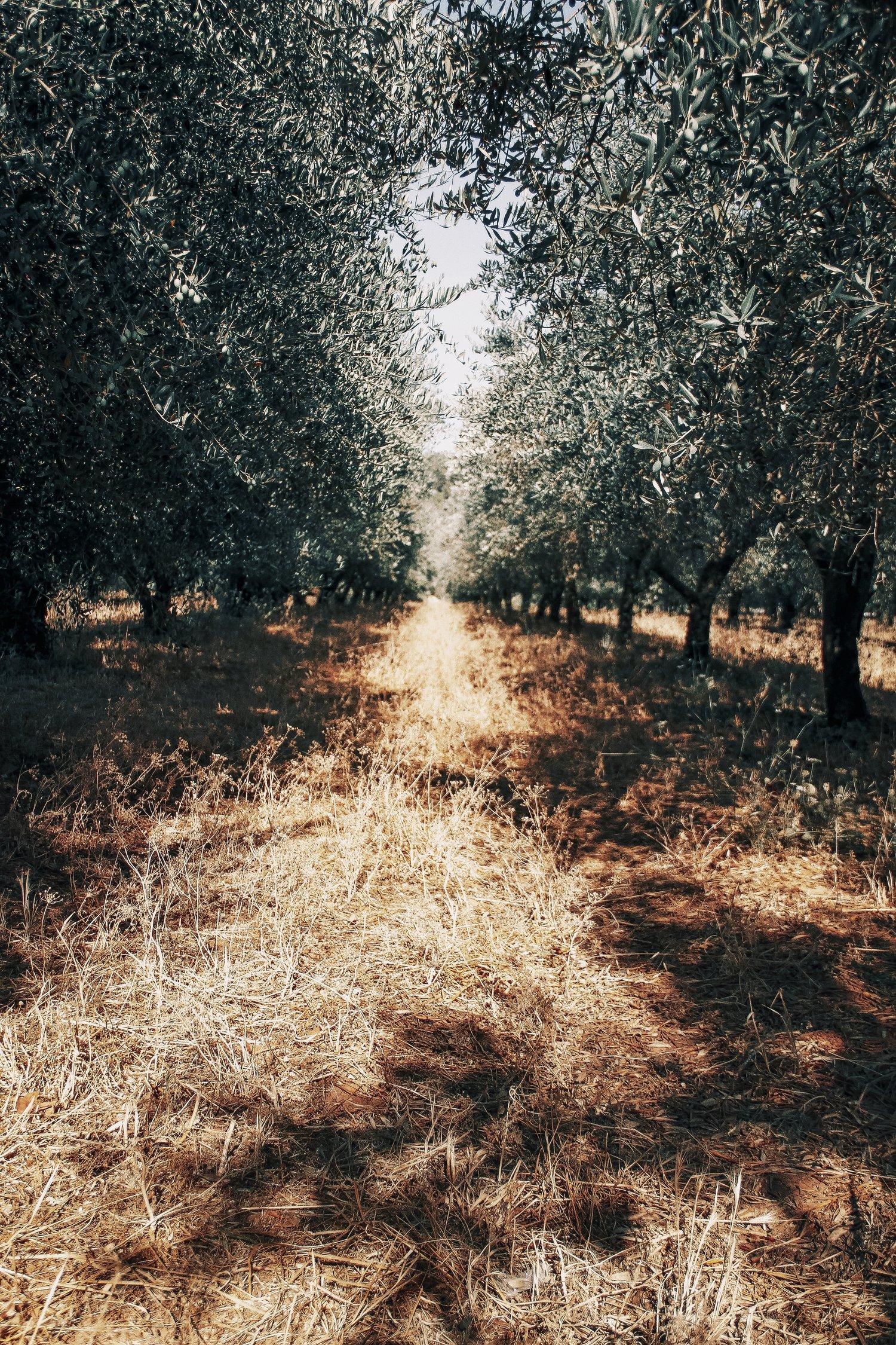 hievoo - hemp infused extra virgin olive oil 1 olive oil