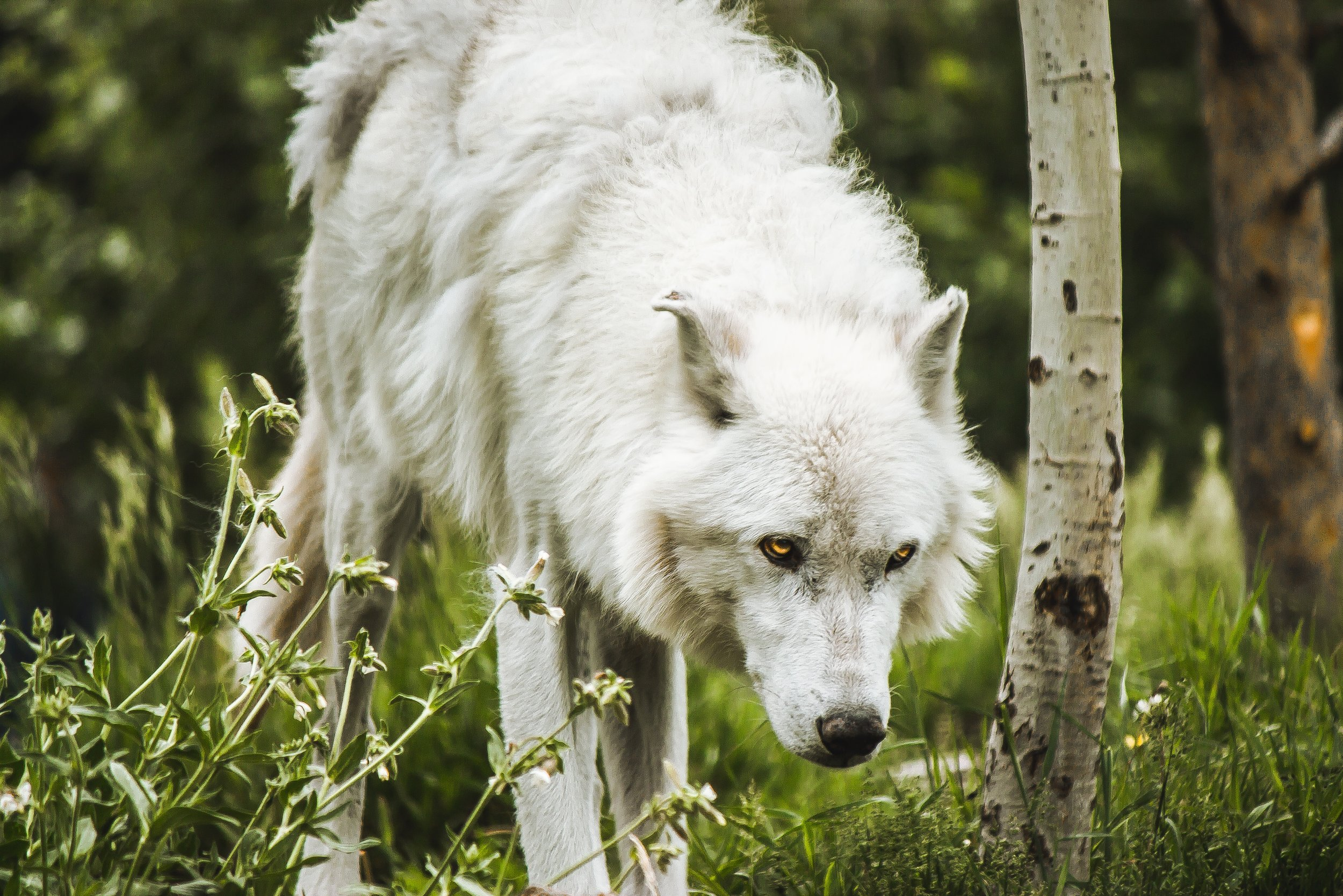 A large white wolf emerging from a forest.