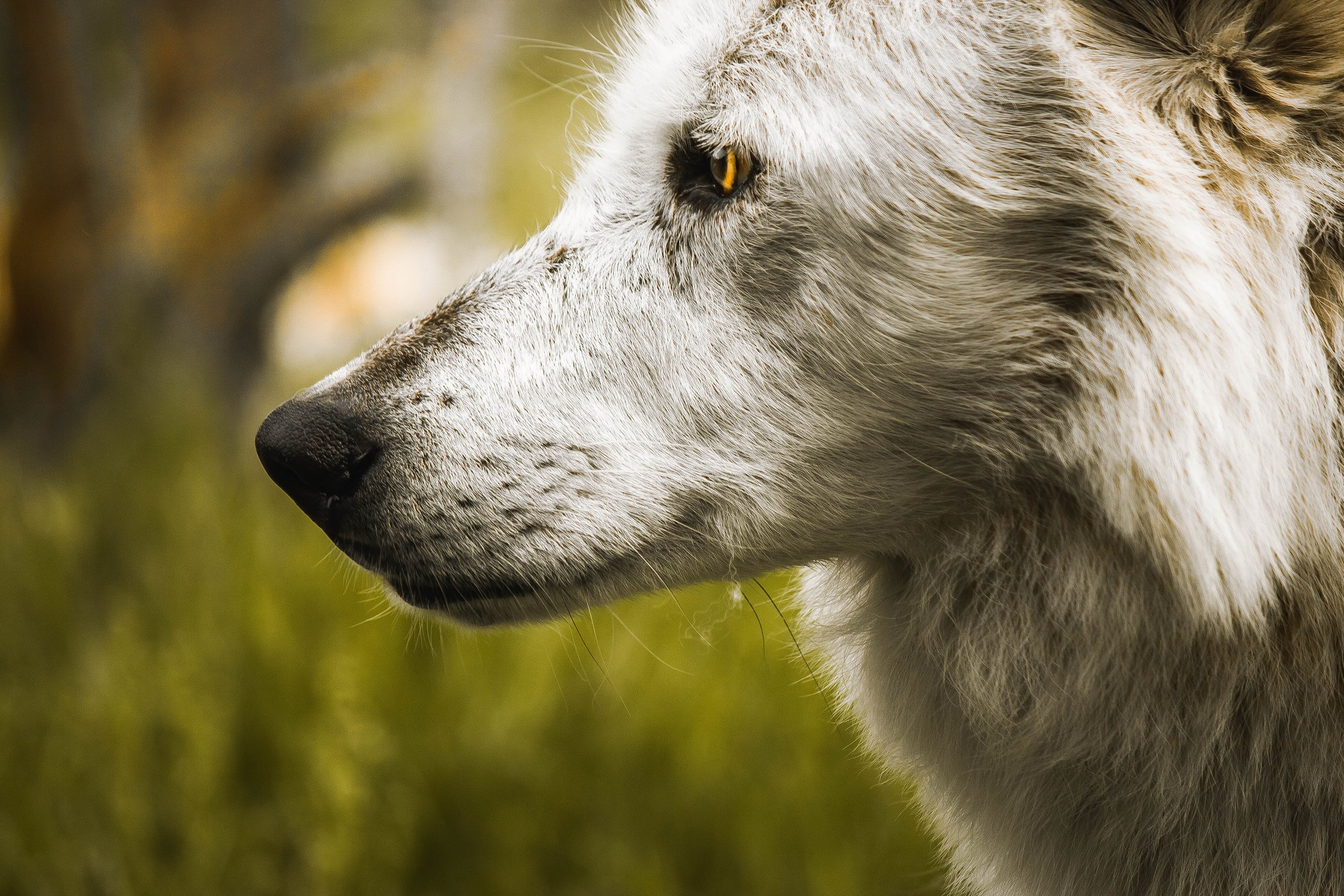Close-up of a white wolf, looking into the distance.