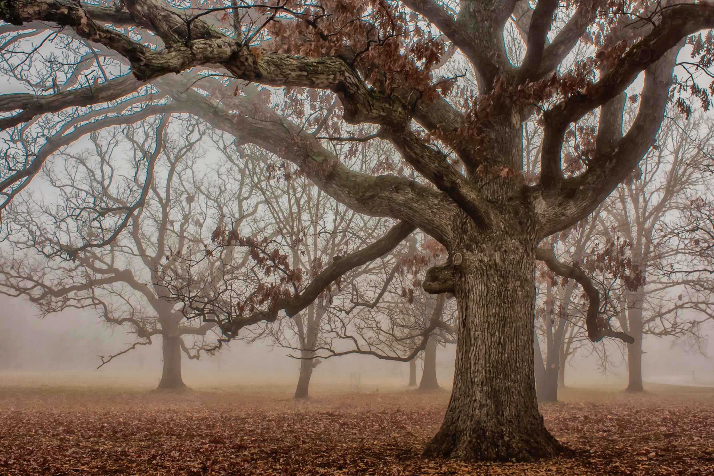 Huge oak tree in a misty forest.