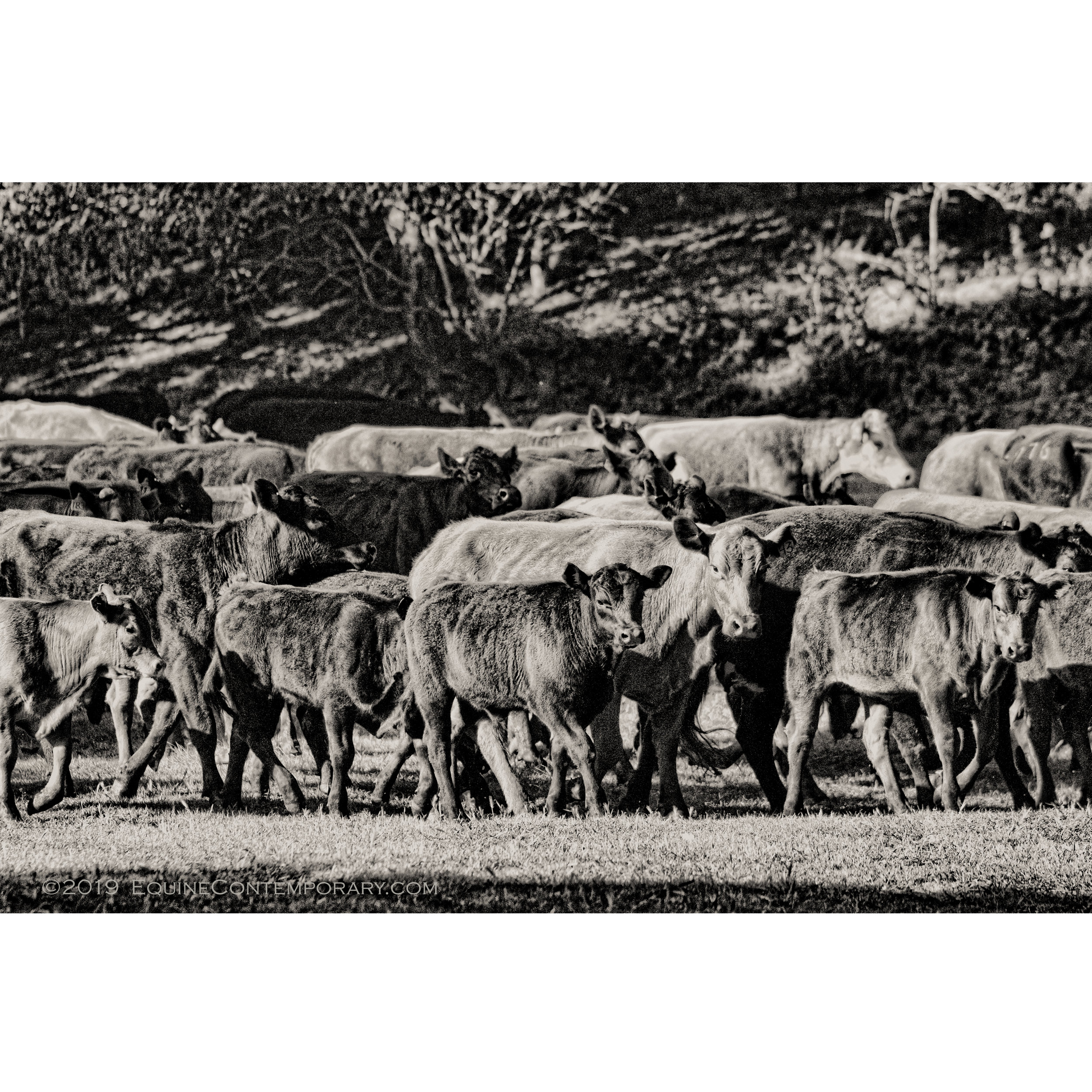 *****Square Cattle bunch Ranch WM.jpg