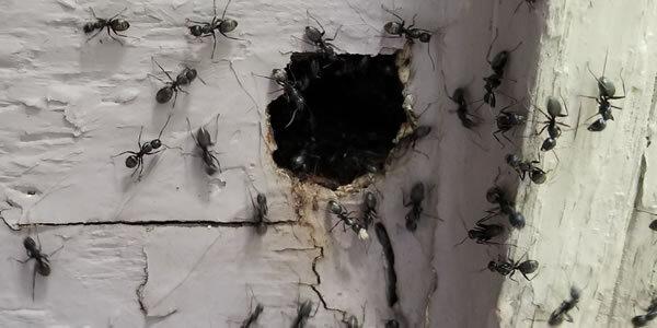 Carpenter-Ant-Satellite-Nest.jpg
