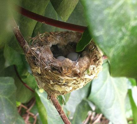 hummer-nest.jpg