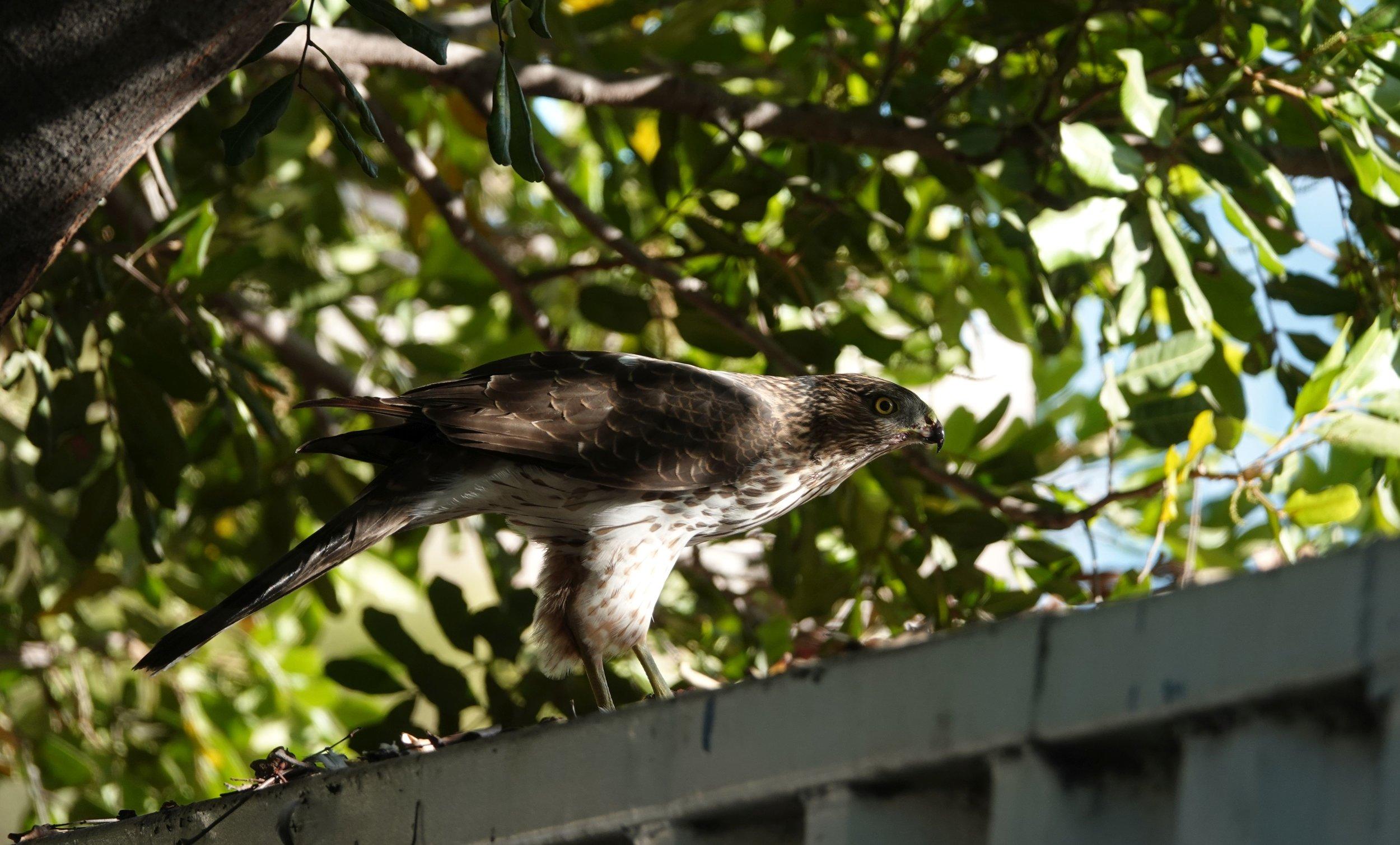 Cooper's Hawk on metal bin eating Rock Pigeon Esperanza 11.07.17.jpg