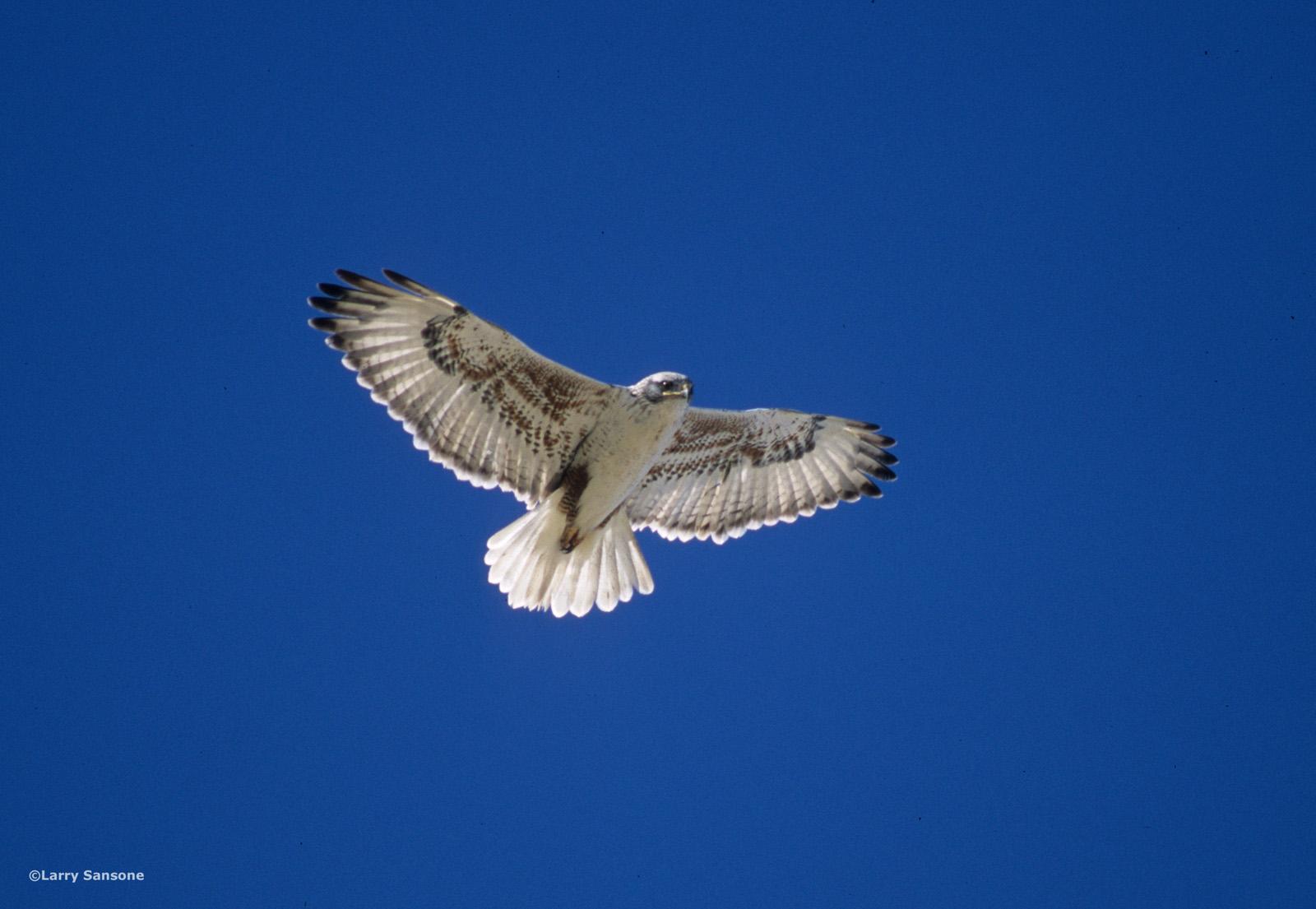 Ferruginous Hawk   Photo by Larry Sansone