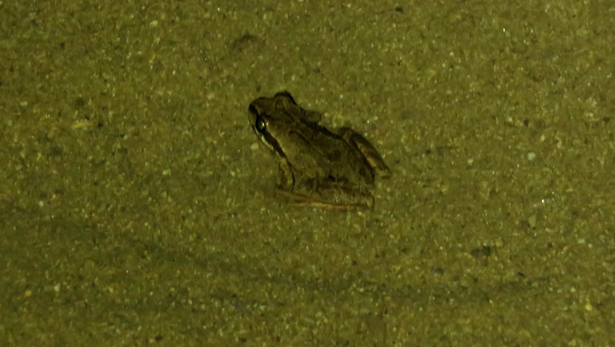 Ballona Baja Chorus Frog beginning a journey in the night leaving the safety of the frog pond at Ballona | Photo by Jonathan Coffin