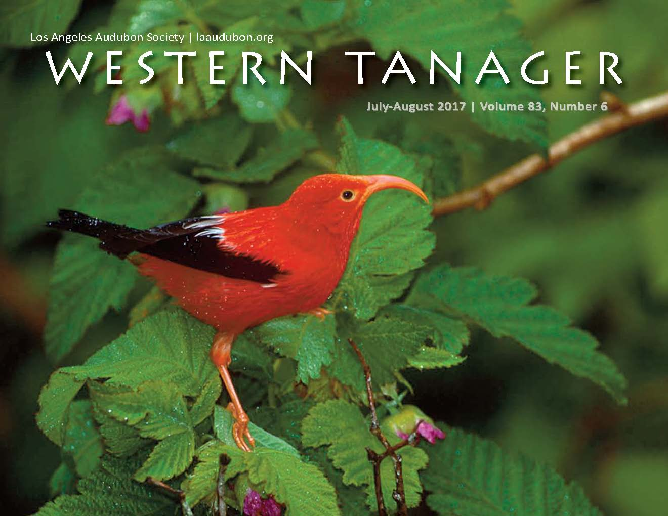 "ON THE COVER  'I'iwi | Hakalau Forest Wildlife Refuge, Photo by Jack Jeffrey  Found nowhere else in the world, the spectacular scarlet‐feathered I'iwi  (Drepanis coccinea)  is the last of the sickle‐billed Hawaiian honeycreepers. Before the appearance of humans in Hawaii, more than fifty different honeycreeper species were known to have existed. Today, only 18 species remain, most of these are endangered or threatened. I'iwi feathers were once collected by early Hawaiian bird catchers or ""kia manu"", and used for the feathered cloaks of Hawaiian Royalty. I'iwi are still fairly abundant in the remaining high elevation native koa‐ohia forests of Hawaii Island and Maui, but rare on the other major islands. The long down‐curved bill of the I'iwi is a perfect match for the shape of tubular flowers of many native plants, making I'iwi important pollinators of these and other native plants. To see an I'iwi, or to hear its loud ""rusty hinge"" call is an extraordinary experience and one that can only be had in a Hawaiian rainforest."