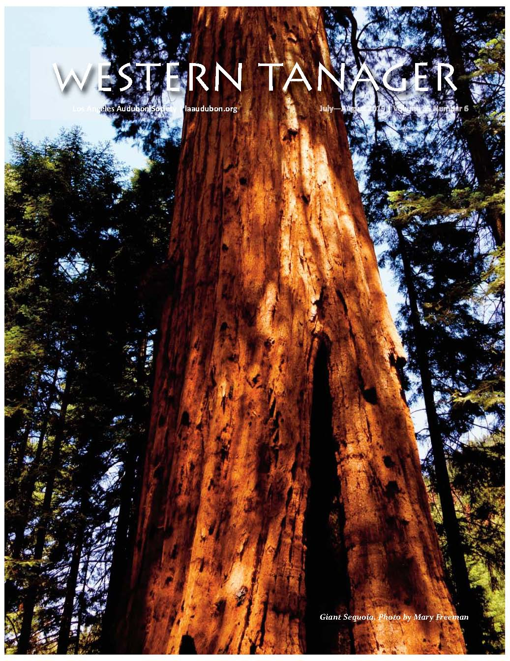 Giant Sequoia, Photo by Mary Freeman