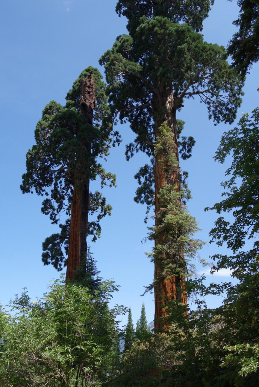 Birding under the giant Sequoias | Photo by Mary Freeman