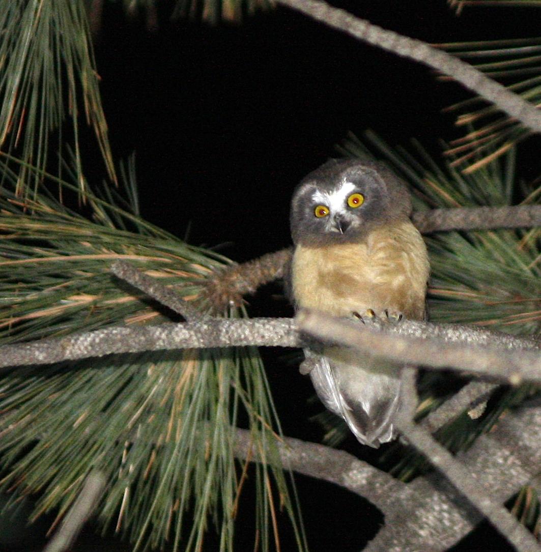 Juvie Northern Saw-whet Owl, red eye.JPG