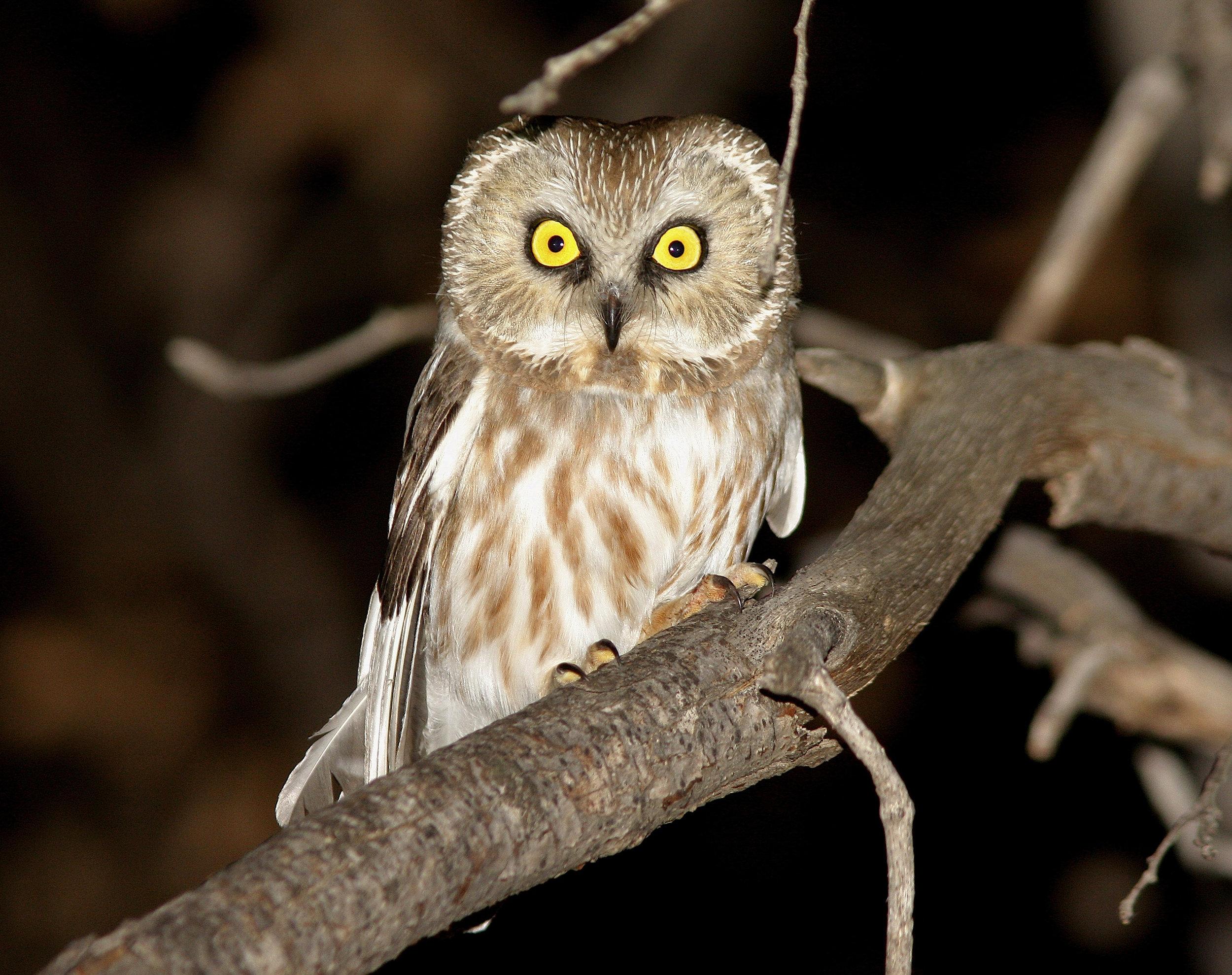 Adult-Northern-Saw-whet-Owl.jpg