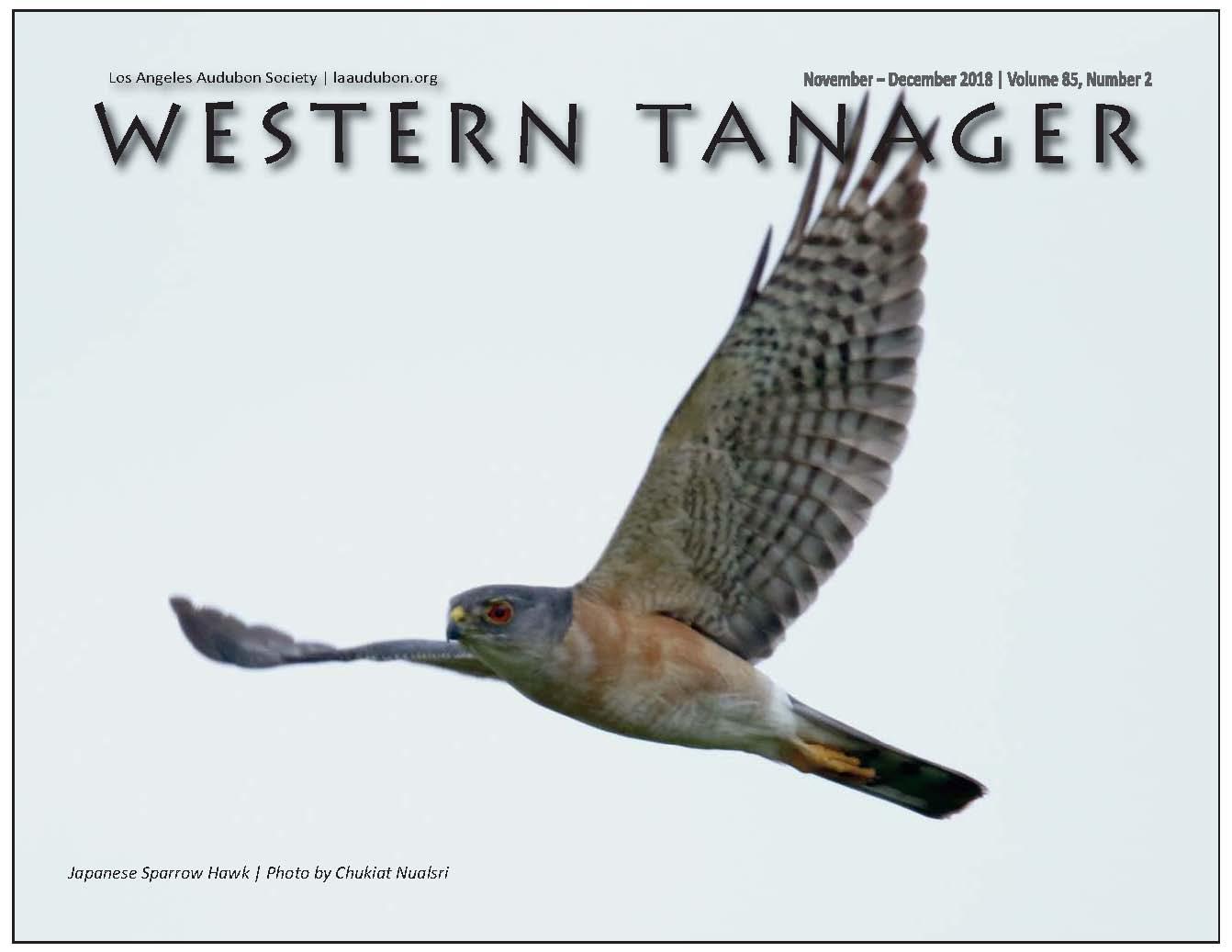 Japanese Sparrow Hawk   Photo by Chukiat Nualsri