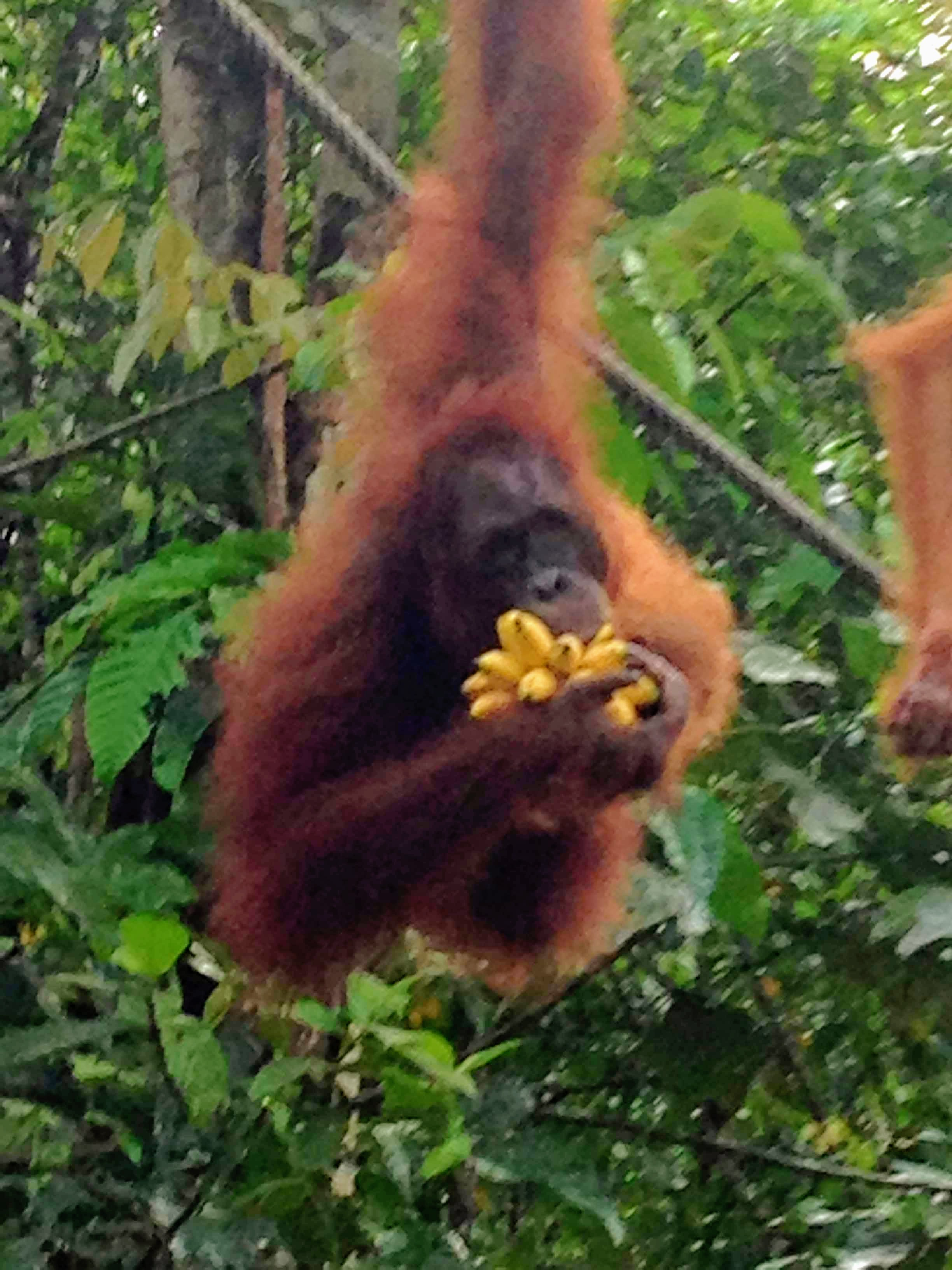 """In the Malay language, """"Orangutan"""" means """"Man of the Forest"""". Orangutans share 95% of our genetic material!"""