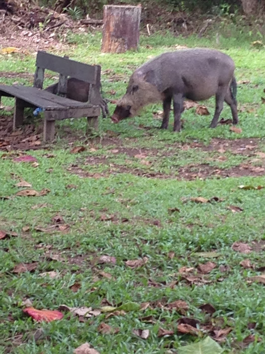 Wild Bearded Pigs make their home at Bako too!