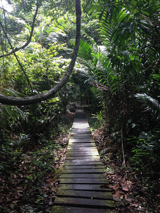 This elevated boardwalk trail passes through the mangrove forest at Bako.