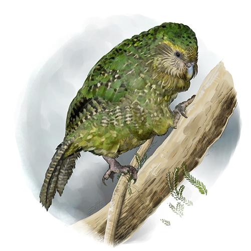 Kakapo 003-72dpi - 500px.jpg