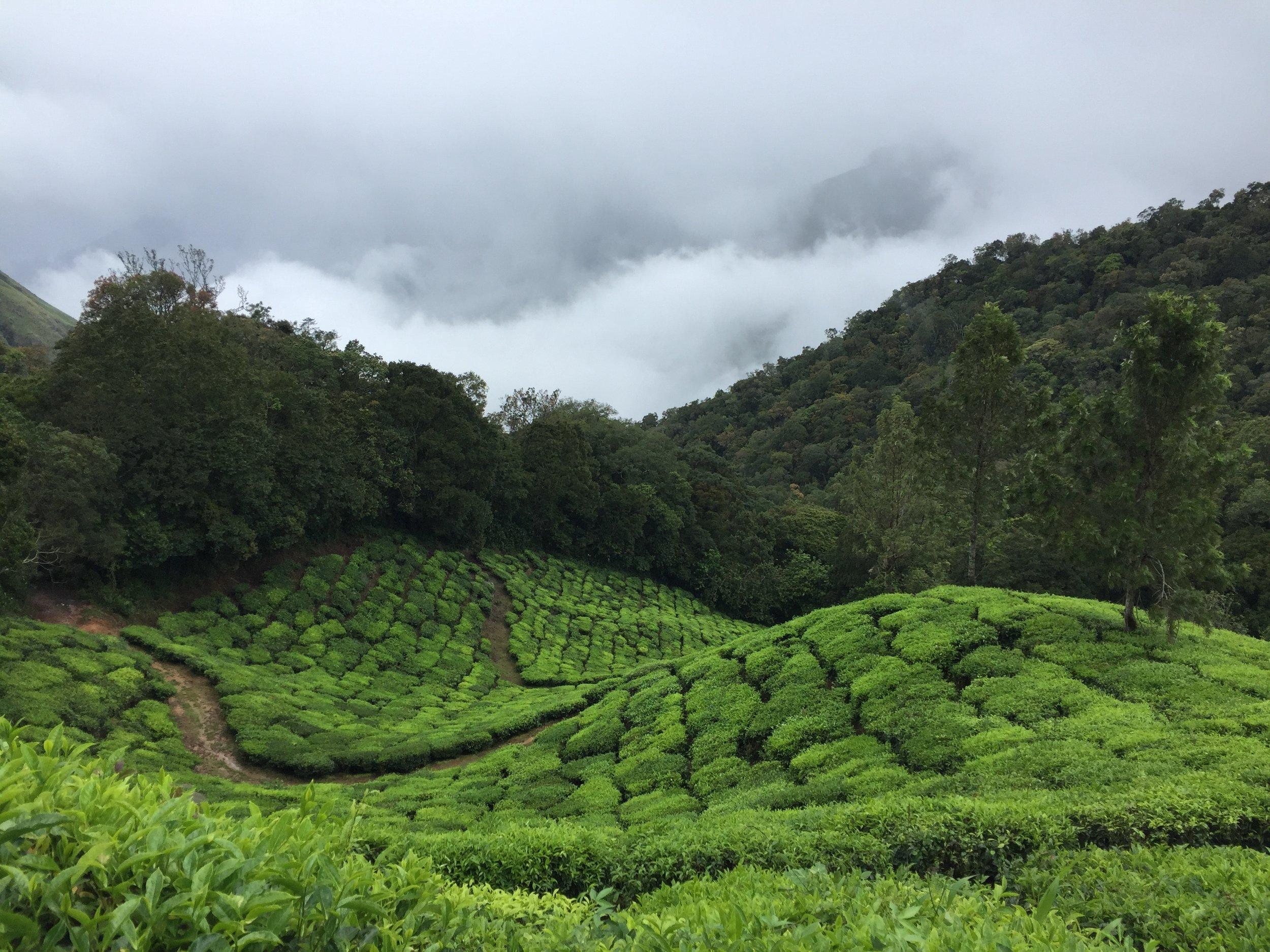 Other Tea - green tea subscription box - tea field