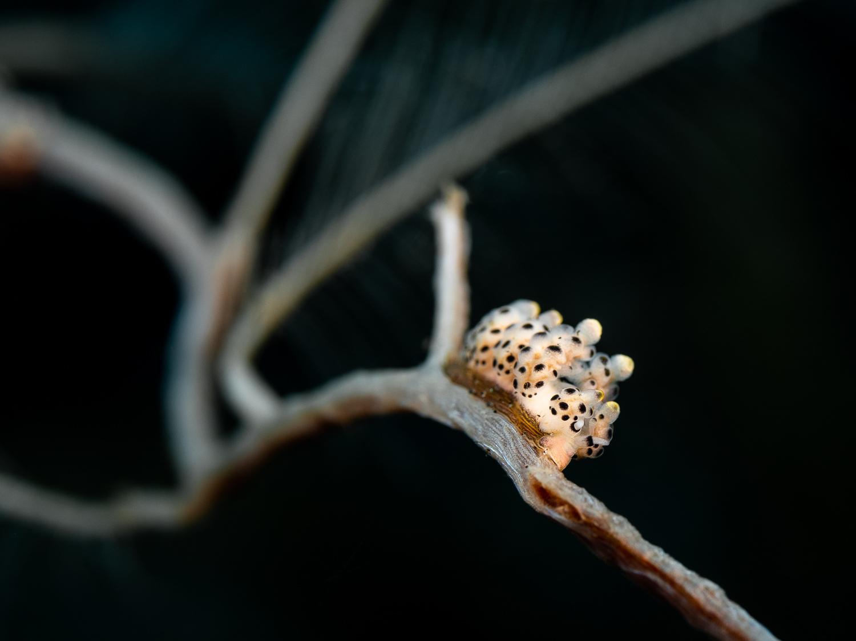 Nudibranch - Doto bella