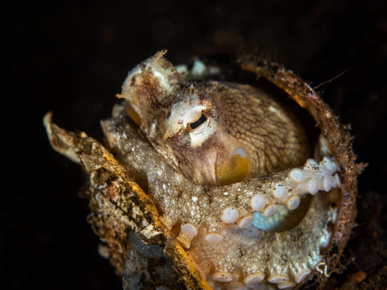 Coconut Octopus - Amphioctopus marginatus