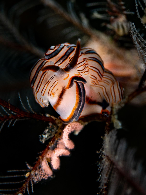 Nudibranch - Doto greenamyeri with eggs
