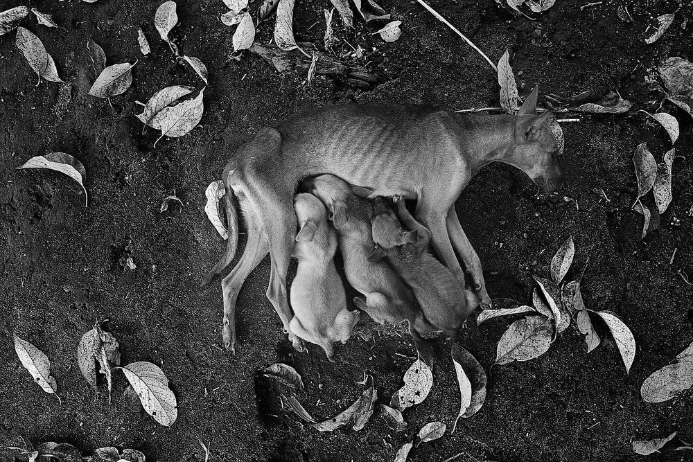 During the lactation process in mammals, lead is transmitted from mothers to newborns. This dog suckles its cubs in one of the areas closed by the Ministry of the Environment due to the high levels of lead found in soil, water and air.