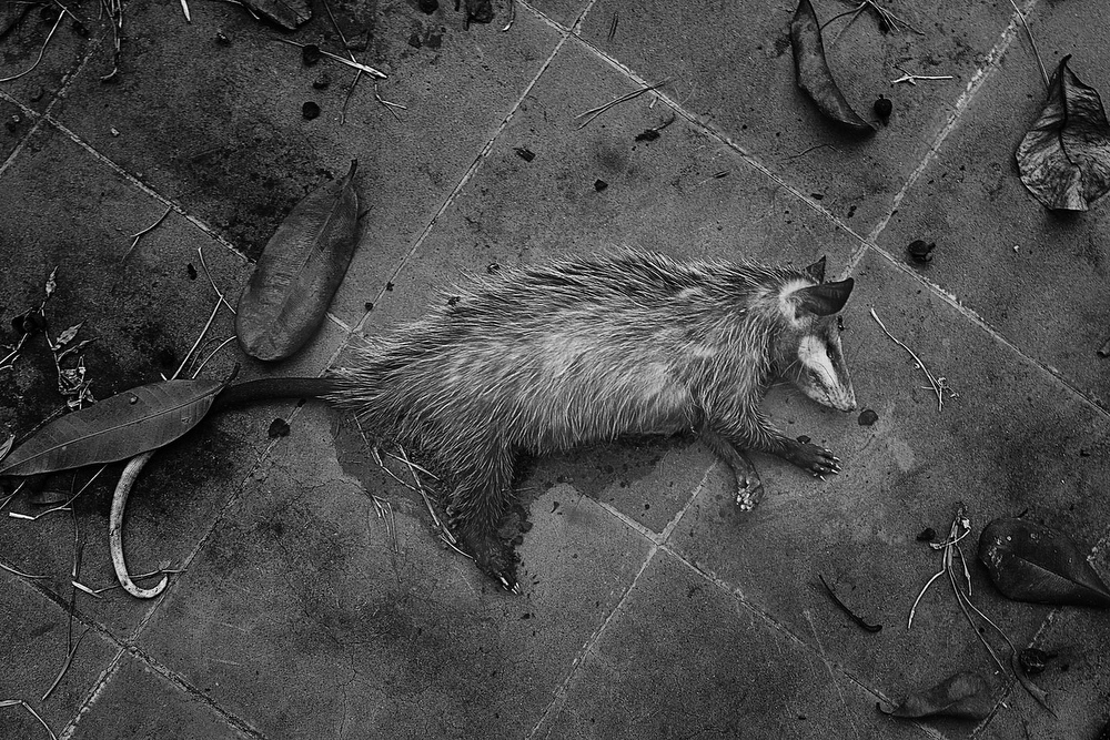 The neighbors affirm that as a result of the contamination it is very frequent to find dead animals in the places near the factory, like this  opossum.