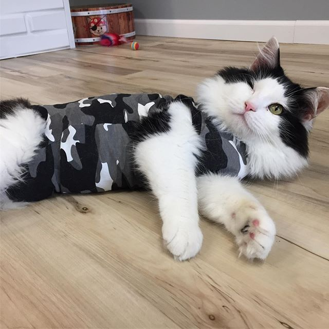 "Napoleon has been testing out his new ""sweater"" from @suitical today. It's allowing for plenty of movement and looks so good! 😺😽😻 #rescuecat #threeleggedcat #oneeyedcat #ict #wichita #suitical #catlove #catsagram"