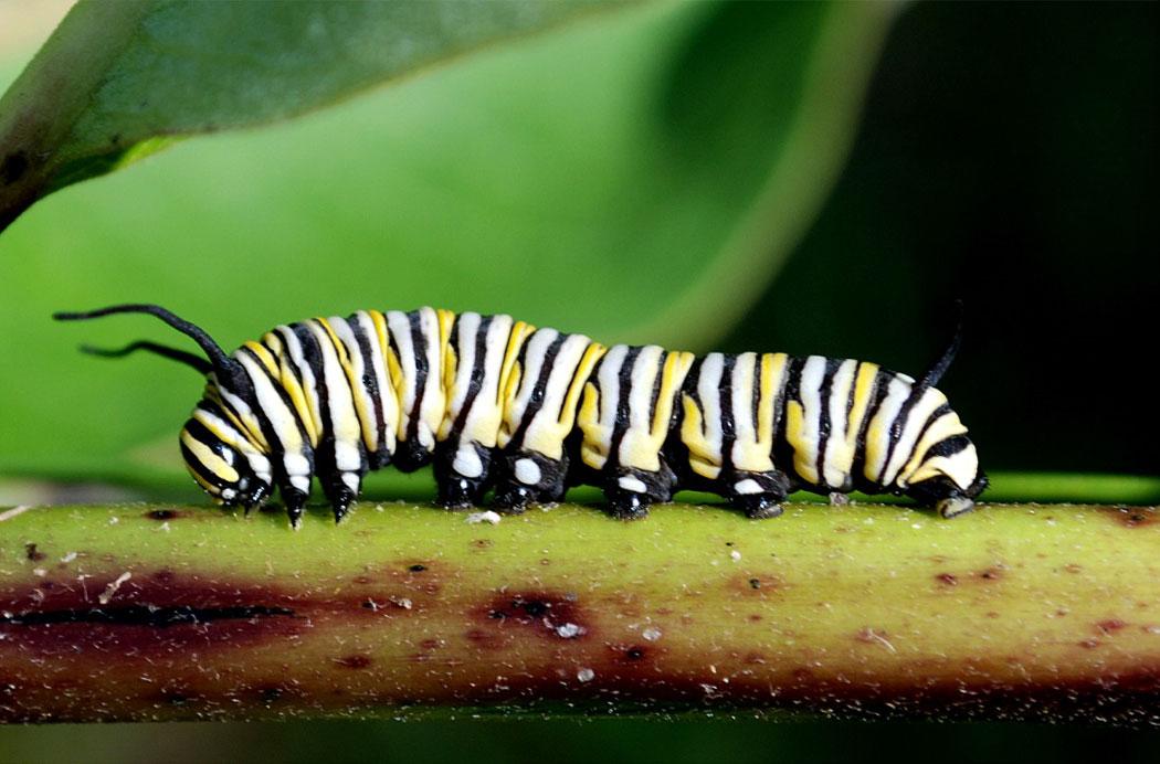 monarch_caterpillar8471.jpg