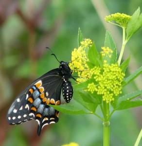 Black swallowtail visiting golden alexanders