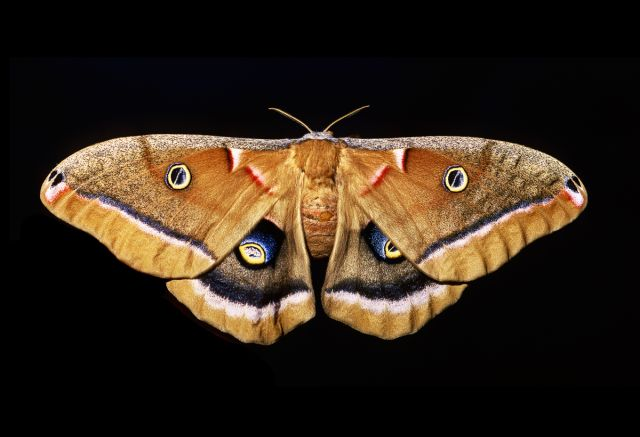 The polyphemus moth is a giant silk moth native to our region, with a wingspan of up to 6 inches.