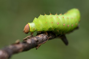 Without this crawly phase, during which the polyphemus caterpillar nibbles on a wide variety of native trees and shrubs, we would have no gorgeous moth.