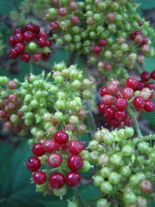 American Spikenard's many berries add drama to the garden as they turn to purple. They have a history of culinary and native American medicinal use.