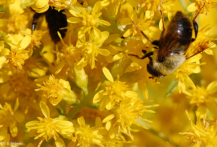 Goldenrod attracts a multitude of insects, these bees feast on nectar of these Showy Goldenrod flowers.