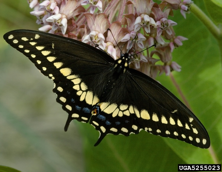 Black+swallowtail+copy.jpg
