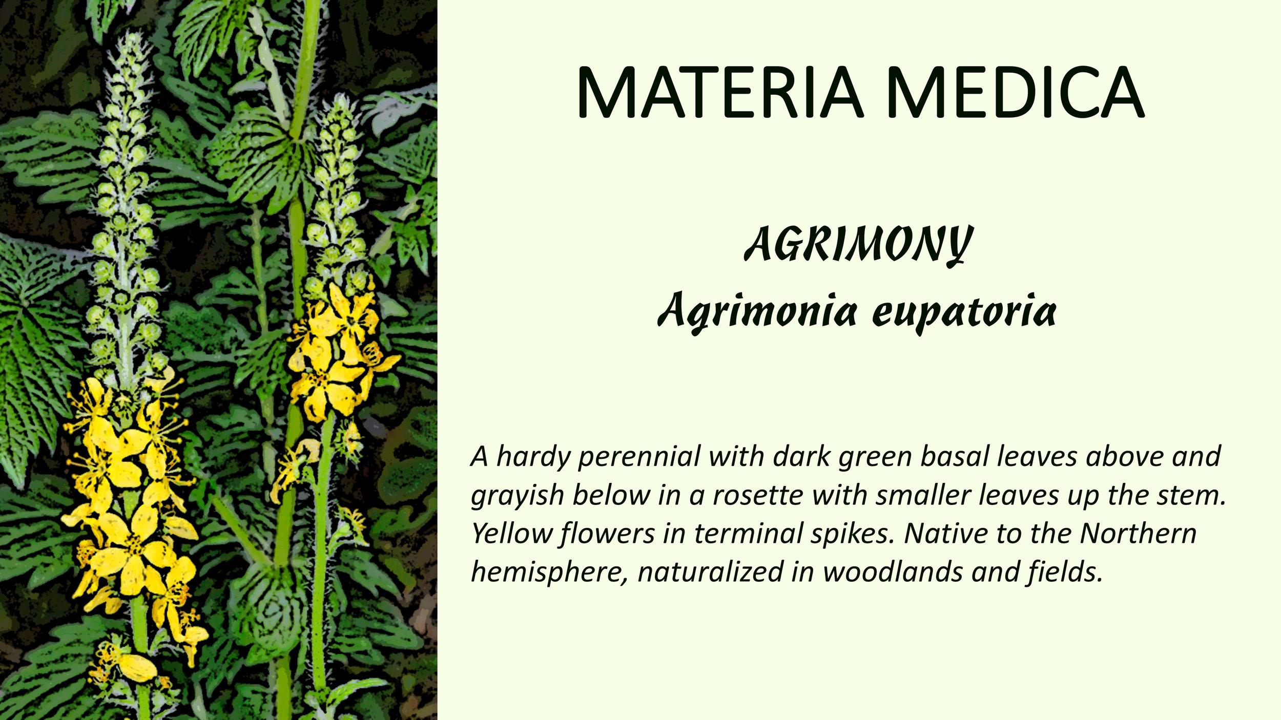 Agrimony_MM (backup)1.jpg